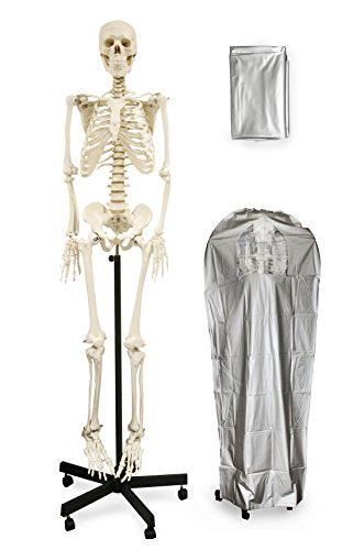 "Vision Scientific VAS201-DC Medical Grade Life Size Human Skeleton-66"" (168cm) 