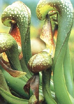 TROPICA - Cobra Lily (Darlingtonia california) - 10 Seeds - Carnivors