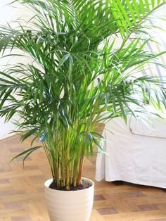 Ojorey Kifayati Areca Palm Healthy Live with Best Pot Indoor...