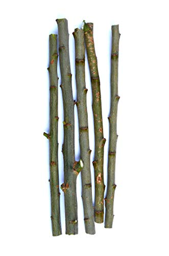 TreesAgain Lot of 5 Pussy Willow cuttings - Salix discolor - 7 to 9 inches (Salix Pussy Willow)