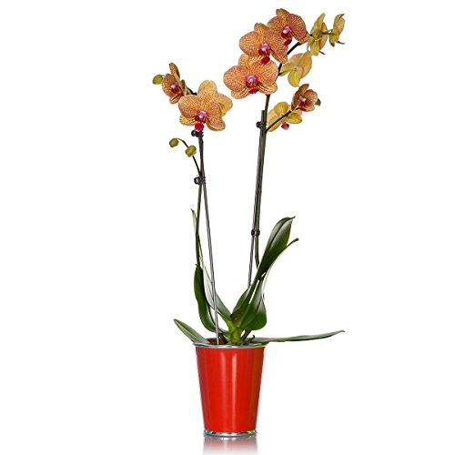 just-add-ice-phalaenopsis-orchid-5