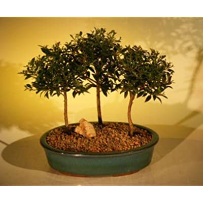 Bonsai Boy's Flowering Brush Cherry Bonsai Tree Three 3 Tree Forest Group eugenia myrtifolia: Garden & Outdoor