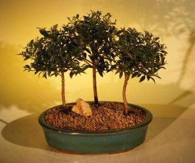 Amazon Com Bonsai Boy S Flowering Brush Cherry Bonsai Tree Three 3 Tree Forest Group Eugenia Myrtifolia Home Kitchen