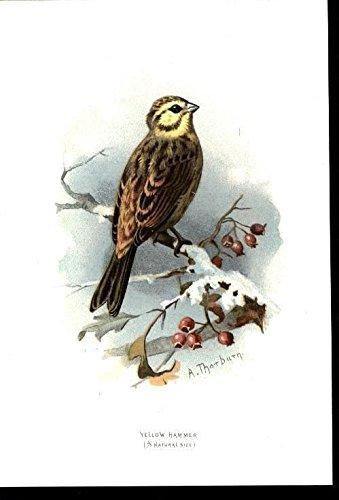Yellow Hammer Flock Mentality Bird c.1885 antique chromolithograph print
