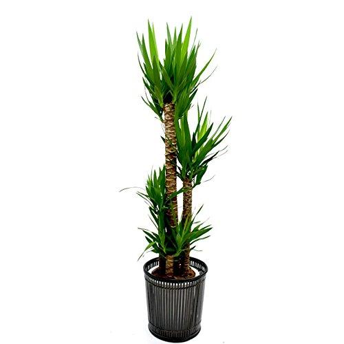 【装飾バークプレゼント】青年の木 ドラセナ ユッカ 大型10号 鉢カバーI付き B01LPBYXNW