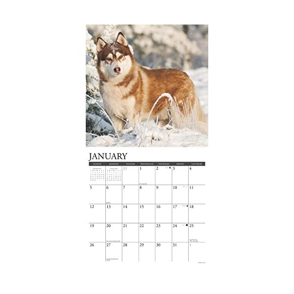 Just Siberian Huskies 2020 Wall Calendar (Dog Breed Calendar) 2