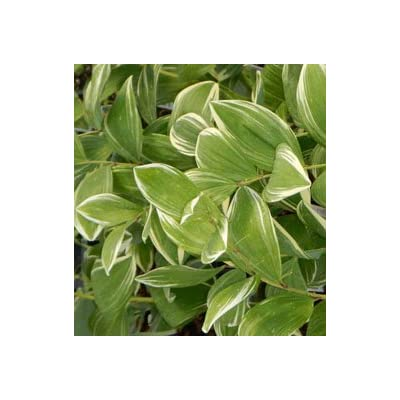 Solomon's Seal Variegated Shade Loving Perennial Plant: Toys & Games