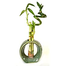 9GreenBox - Live Spiral 3 Style Lucky Bamboo Plant Arrangement w/ Green Round Ceramic Vase