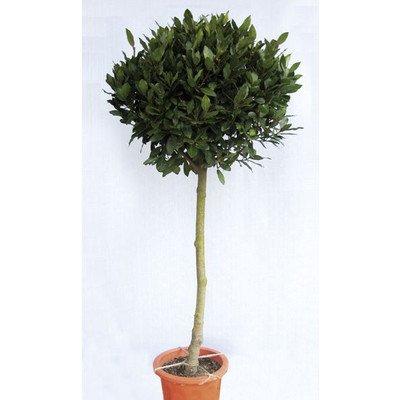月桂樹(ゲッケイジュ) ローリエ 植木 苗木 半耐寒性常緑中高木 B00SR46R6W