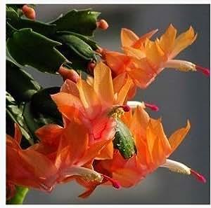 Zygocactus Truncatus,schlumbergera Seeds,indoor Potted Plants, Green Plants - 20 Seeds Seeds