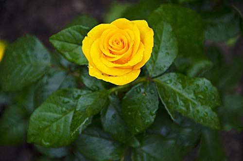 Kuting Colorful Rose hep Flower Seeds Home Garden Yard Decoration, 50 seeds (Yellow Rose seeds)