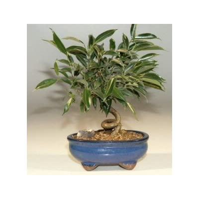 Bonsai Boy's Oriental Ficus Coiled Bonsai Tree - Small ficus benjamina 'orientalis' : Bonsai Plants : Grocery & Gourmet Food
