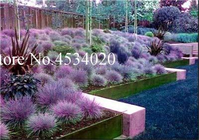 Ornamental Flowering Hardy Trees - Kasuki 300 pcs Blue Fescue Grass - (Festuca glauca) Perennial Hardy Ornamental Plants Grass Bonsai for Flower Pot planters Bonsai Tree - (Color: 19)