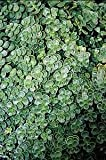 (10 count flat - 4.5'' pots), Sedum spurium 'John Creech', Stonecrop, (GROUND COVER),Tight growing blue-green foliage with pink flowers. Light foot traffic,