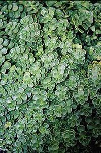 (10 count flat - 4.5'' pots), Sedum spurium 'John Creech', Stonecrop, (GROUND COVER),Tight growing blue-green foliage with pink flowers. Light foot traffic, by Pixies Gardens