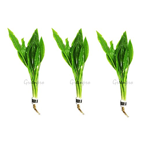 Greenpro 3-Bundles Amazon Sword | Echinodorus Amazonicus Live Aquarium Plants for Aquatic Freshwater Fish Tank