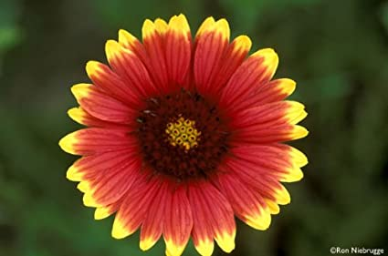 indian blanket flower Amazon.: INDIAN BLANKET FLOWER SEEDS   100 FRESH SEEDS  indian blanket flower