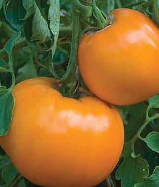 (Golden Jubilee Tomato Seeds, 100+ Premium Heirloom Seeds, Popular Hot Seller and On Sale, (Isla's Garden Seeds), Non Gmo Organic, 85% Germination Rate, Highest Quality)