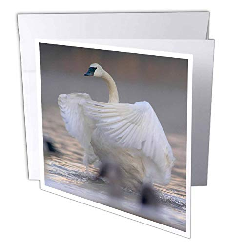 (3dRose Danita Delimont - Swans - Trumpeter swan Flapping its Wings, Magness Lake, Arkansas. - 1 Greeting Card with Envelope (gc_314579_5) )
