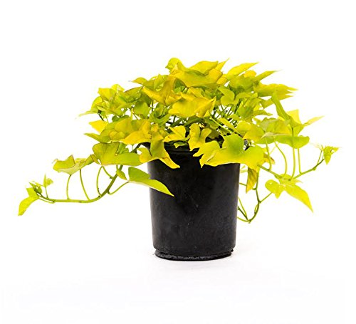 AMPLEX Sweet Potato Vine Live Plant, 1 Gallon, Desana (Potato Vine)