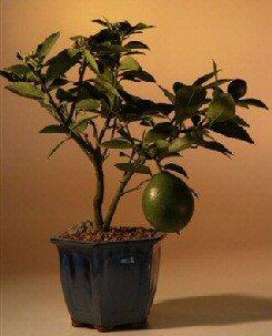 Amazon Com Flowering Lemon Bonsai Tree Meyer Lemon Grocery Gourmet Food