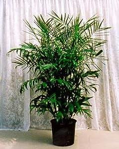 Amazon Com Bamboo Palm 10 Seeds Chamaedorea Florida