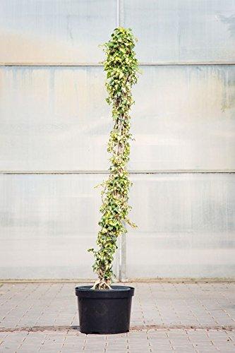 Kletterpflanze Halbschattig gelbbunter efeu 100 125 cm im topf 7 5 liter kletterpflanze