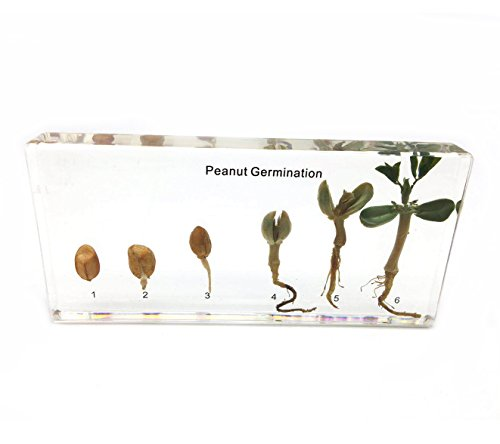 Peanut Germination in Acrylic Block Lifecyle of Peanut Biology Science Classroom Specimens (Peanut Germination)
