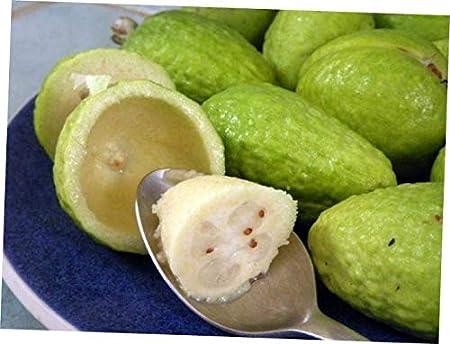 Feijoa Feihoa Acca Sellowiana Myrtaceae Pineapple Guava Guavasteen Seeds 10 PCS