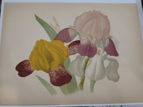 A Group of Hardy Irises - 1878 Color Lit - Lithograph Iris Shopping Results