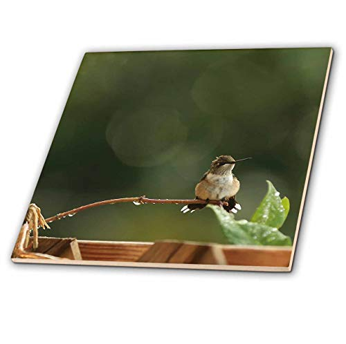 (3dRose Stamp City - Birds - Photo of an adorabe Female Ruby Throated Hummingbird with a Mohawk. - 4 Inch Ceramic Tile (ct_302852_1))