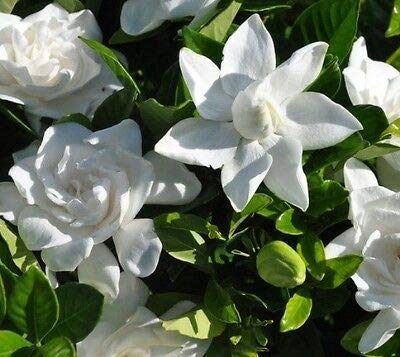 Summer Snow Gardenia (Cape Jasmine) - Live Plant - Quart Pot