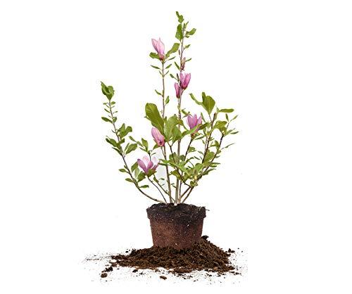 Perfect Plants Jane Magnolia Live Plant, 3 Gallon, Includes Care Guide