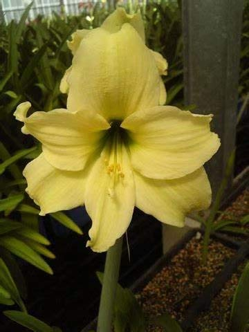 1 Yellow Amaryllis Bulb Indoor&Outdoor Potted Flowers