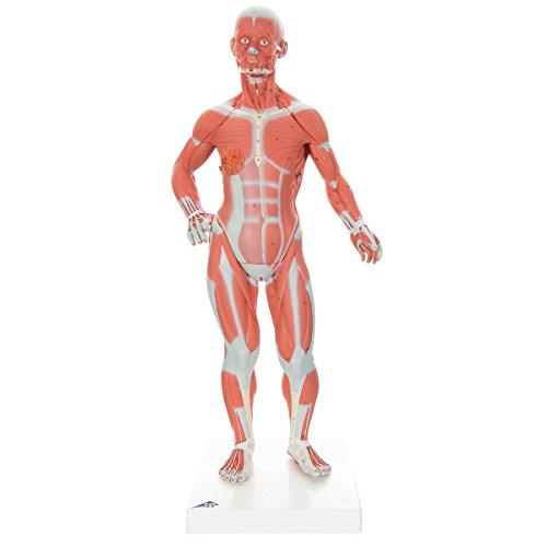 Muscle Model: Amazon.com