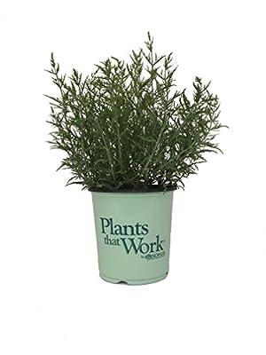 Plants that Work Peek-a-Blue Russian Sage - Perovskia Atrip. Peek-A-Blue - 19cm