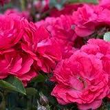 Coral Drift Rose> Rosa 'Meidrifora'> Landscape Ready 2 gallon Container