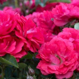 Coral Drift Rose> Rosa 'Meidrifora'> Landscape Ready 2 gallon Container