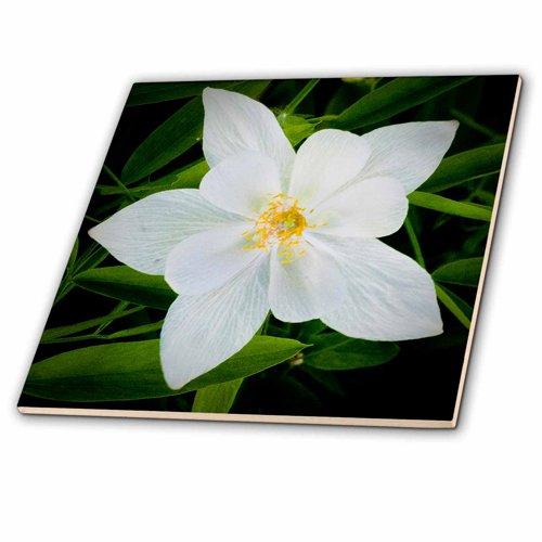 (3dRose Jerry Funk Photo Decorative Colorful Garden Botanic Classic Plant Columbine White Flower Ceramic Tile, 4-Inch)