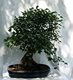A Beautiful 8'' Exposed Root Trident Maple Bonsai, 4t5 From Hollow Creek Bonsai