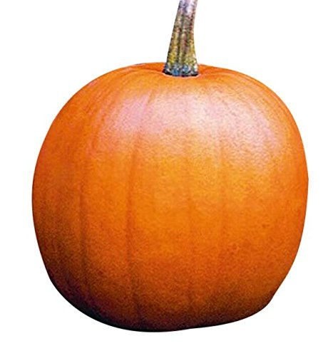 Jack O'Lantern Pumpkins Seeds - Heirloom and The Classic for Carving and Cooking