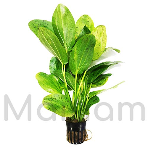 Mainam Amazon Sword Ozelot Green Potted Live Aquarium Plant Easy ()