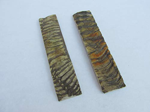 Horn Coral (Atlantic Coral enterprise One Pair of 7 inch Sheep Horn Scales)