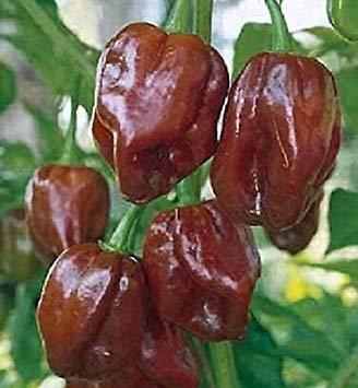 - 25 Seeds of Habanero Jamaican Hot Chocolate Pepper Seeds Habanero Pepper