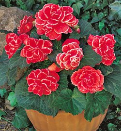 (1 Begonia - Picotee - Lace Red bulbs)