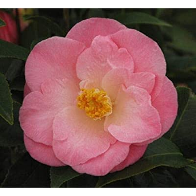 April Remembered Pink Camellia (Zone 6) Live Plant Quart Pot : Garden & Outdoor