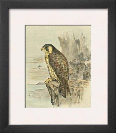 Peregrine Falcon Framed Art Poster Print by F.w. Frohawk