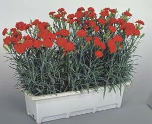 Dianthus caryophyllus CanCan Scarlet 100 seeds