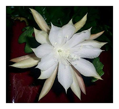 Epiphyllum anguliger - Fishbone Cactus - Moon Cactus for sale  Delivered anywhere in Canada
