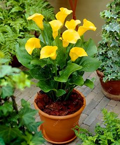 True Good quality calla lily bulbs, (not calla lily seed),balcony bonsai flower bulbs, Pure and noble plant pot - 2 pcs 7 by SVI